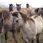 konik ponies at Minsmere