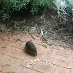 One of the resident bandicoots enjoying breakfast