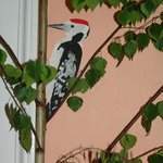 Datel/woodpecker