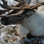 Reindeer paddocks