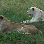 Brown and white lioness