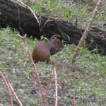An agouti - they can often be seen in the evenings.