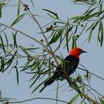 rare scarlet headed blackbird in the garden!!