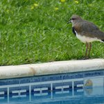 southern lapwing roosting on the edge of the pool