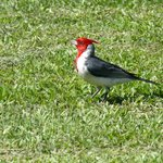 fabulous red crested cardinals sing in the trees and feed closeby