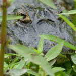 local reptile viewed from the boat on Ibera marsh