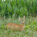 Marsh deer close to ecoposada