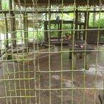 trister Puma-Käfig