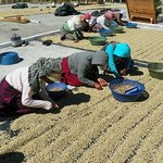 Ladies sorting and grading beens as they dry
