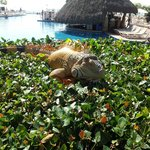 Iguana perch near the pool bar