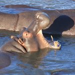 St. Lucia's Hippos - in der Stadt haben wir keine gesehen
