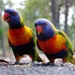 local birdies