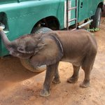 1-month old baby elephant