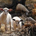 Im Umfeld junge Schafe