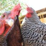 Farm Fresh Eggs and Entertainment!