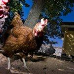Welcome to the Chicken Village
