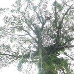árbol gigante en medio de la selva