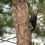 Pileated Woodpecker, these are huge. I had never seen one before
