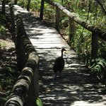 Scrub Turkey on beach walk