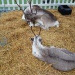 Reindeers visiting Brambridge