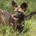 Ol Pejeta's wild dogs!