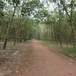 Rubber plantation that we stopped by.