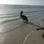 Pelican enjoying the Pink Shell Resort