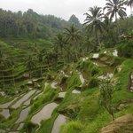 Rice terrace fields of Ubud in Bali