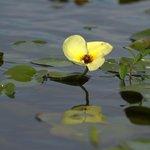 Esteros de Ibera  flora