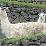 Machu Picchu - Alpacas