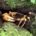 Fresh Water Land Crab at the Falls Hike