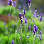 Start of lavender season