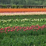 unreal tulip fields near Keukenhof Gardens
