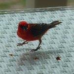"""Un """"Cardinal"""" en visite à notre suite"""