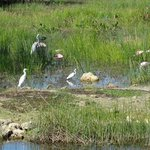 Roseate Spoonbills and other waders.