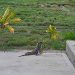 Sunning iguana outside of room