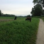 Cows on the walking path