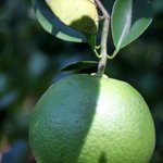 Lime tree on the property