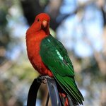Colin our King Parrot