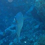 White tip shark at Molokini