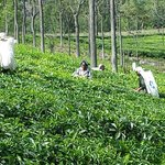 Tea Pickers outside our villa