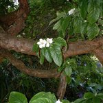 The Medlar tree in the garden lends its name to the property