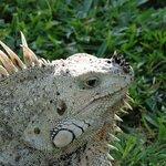 George the Iguana
