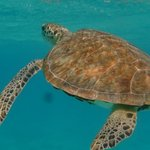 Swimming with turtles at Tobago Cays