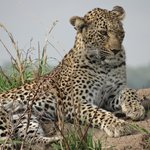 Lazy Leopard!