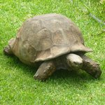 very old tortoise