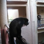 Howler monkey who visit rooms each morning