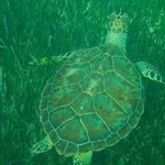 One of 5 turtles I saw snorkeling