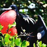 Mexico Kan Tours birdwatching Fregate