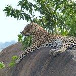 Leopard in Northern Serengeti